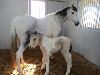 海岸公園馬術場で仔馬が誕生!名前を募集いたします
